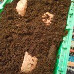 Dicke Scheiben der Süßkartoffel in die Erde gesteckt