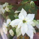 Große Scheinblüte des weißen Weihnachtssterns