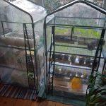 Blick in 2 Zimmergewächshäuser mit Jungpflanzen