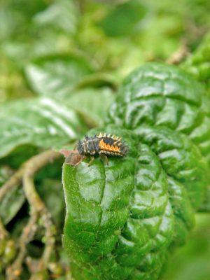 Orangerote Marienkäfer Larve ist Helfer in der Mischkultur