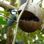Kokosnuss-Futterhäuschen mit Blaumeise