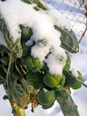 Im Winter ernten - Rosenkohl mit Schnee