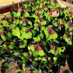 Glücksklee-Pflanzen in der Anzuchtschale