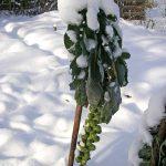 Rosenkohl-Pflanze im verschneiten Gartenbeet