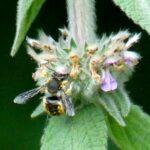 Insekt an behaarter Pflanze im Naturgarten