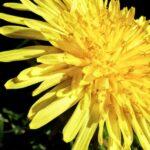 Blüte der Löwenzahn-Pflanze - Makro