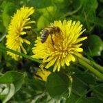 Löwenzahn - Pflanzenblüte mit Biene